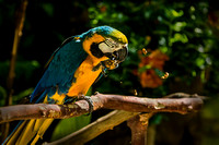 Blue Gold Macaw nutcracker PH2547a -0026
