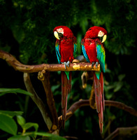 bird GreenWingedMacaws pair PH2515a -9980--5