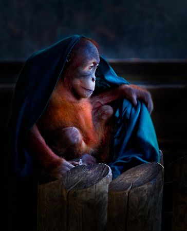 PH1157a animal orang utan youngster w blanket -9329