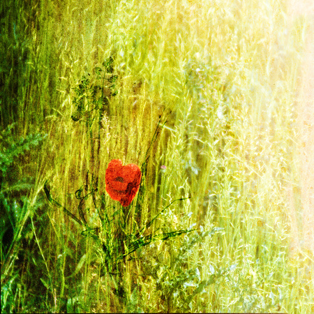 Red Poppy in Grass OA117a PH2501a 31x31@300 sml zf-9008--28