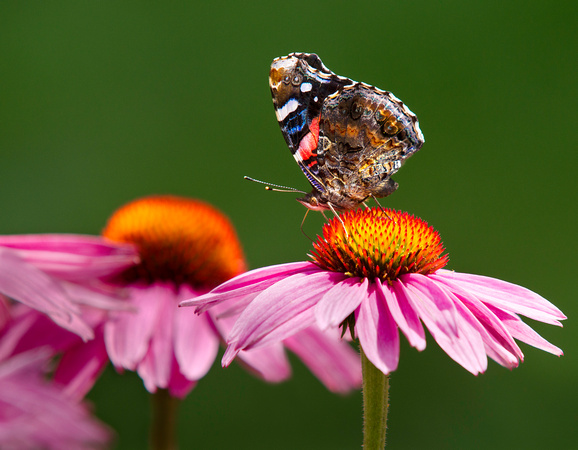 PH1069a butterfly red admiral vanessa atalanta rubria on echinacea-6976
