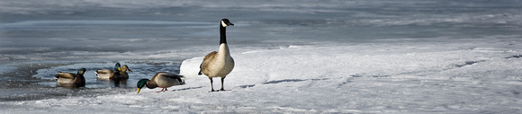 PH674a canada goose and ducks on ice 1 -17,5x3,5 -0003