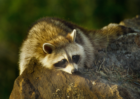 PH347a racoon 1 -12x8 soft- use for cards