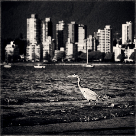 PH2172a great blue heron at Kistsilano Beach with Vancouver skyline sfx zf -4294