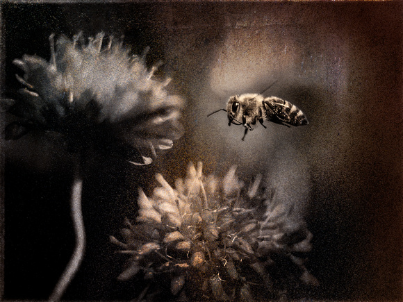 PH2352a bee and red clover 15x11@360 wsl zf-9618