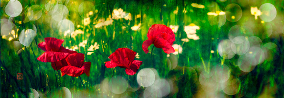 PH2361a botanical poppy blossoms in green meadow  35x12@360 -3709-17-9