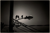 PH2529a folio urban nature three crows on wires silhouette -1273-9-1309-15