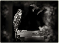 PH2538b animal bird Cooper's Hawk -1177